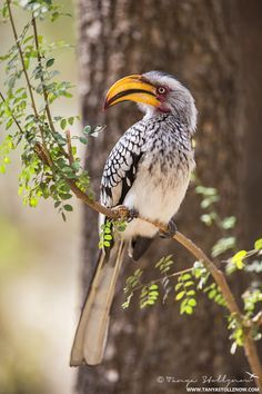 Southern yellow billed hornbill, Kruger National Park, South Africa