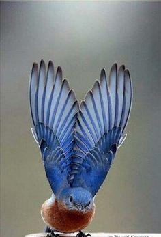 Pássaro azul oriental que estica suas asas