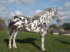 White and black leopard stallion, Moonspark Zebbadee demonstrates the windswept appaloosa-marked look.