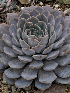 Echeveria 'Orion' is a stunning hybrid between E. lilacina and E. pulidonis, making a rosette about 6 inches (15 cm) across. The Ruth Bancroft Garden / Walnut Creek, CA