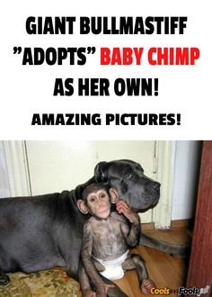 Giant Bullmastiff adopts baby chimp as her own. Adorable story, great pictures. #bullmastiff #chimp #dog #love #pets #amazing #cute #animals Link here: http://coolsandfools.com/dog-adopts-chimp/