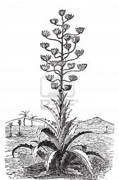 Century plant or Agave Americana old vintage engraving.
