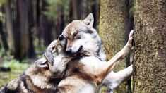 Wolf Love, Husky, Wolves, Dogs, Animals, Animales, Animaux, Wolf, Pet Dogs