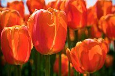 Orange #tulips