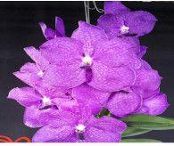 Vandaceous orchids