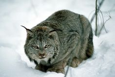 Animals in Winter - The Canadian Encyclopedia