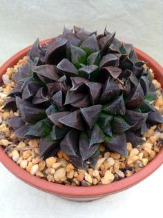 "HAWORTHIA ""CHOCOLATE""."