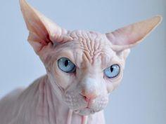 Los gatos sin pelo pueden parecer extraños, curiosos o diferentes. Existen diferentes razas de gatos que nacen sin pelos pero también se les llama así a los gatos que nacen con muy poco pelo.