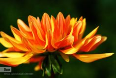 Dahlie by edzerdla #nature