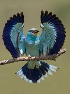 A blue bird, wings spread. Cute Birds, Pretty Birds, Beautiful Birds, Animals Beautiful, Cute Animals, Beautiful Pictures, Exotic Birds, Colorful Birds, Exotic Animals