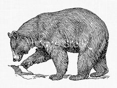 American Black Bear Old image - Bear Line Art Drawing - Antique illustration by Antique Stock