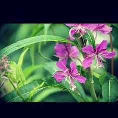 Fireweed, Flower