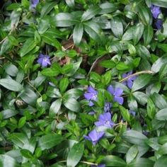 Salvia nemorosa 'Mainacht' ⋆ Bast de Plantgigant Alchemilla Mollis, Astrantia, Geraniums, Rose, Plants, Gardens, Lavender, Pink, Outdoor Gardens