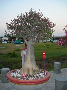 . Bonsai Garden, Bonsai Trees, Planting Flowers, Garden Sculpture, Gardening, Landscape, Outdoor Decor, House, Desert Flowers