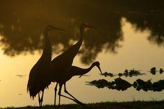 Three Sand Hill Cranes at Fox Lake Park, Titusville, Florida.