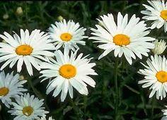 Shasta Daisy  http://lh3.ggpht.com/_37Zh_xAWjoI/SY-LiFyjACI/AAAAAAAABoY/sEdwcHRO5SY/ShastaDaisyAlaska%255B2%255D.jpg
