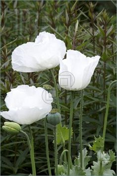 Picture of Some white poppies with a green background