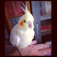 Cockatiel - rubysbff / instagram