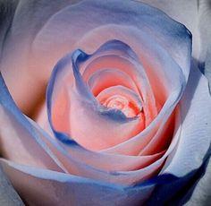 Osiria Rose Seeds 100pcs of Osiria Rose Seeds Garden Seeds of ...