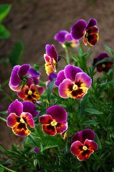 Spring-time Pansies