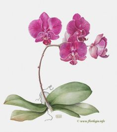Phalaenopsis 'Moth Orchid' Orchids Painting, Watercolor Plants, Floral Watercolor, Creative Illustration, Floral Illustrations, Botanical Illustration, Botanical Prints, Flower Silhouette, Moth Orchid