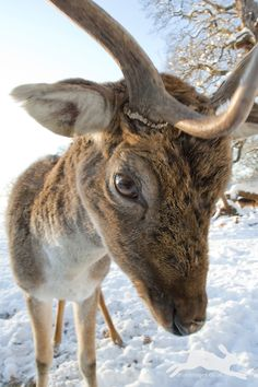 Close up image of Fallow Deer buck with focus on eye and head in snow (Damian Waters/www.drumimages.co.uk)