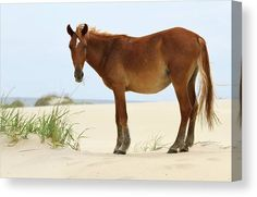 Wild Banker horse at Penny's Hill, the second largest dune in North Carolina. #johnsamsphotography #photography #travelphotography #wildhorses #horse #stallion #wildlife #canvasprint #photographyprint #homedecor #homedesign #countrystyle #wallart #northcarolina #obx #outerbanks Photography Career, Wildlife Photography, Travel Photography, Horse Wall Art, Canvas Art, Canvas Prints, Sams, Wild Horses, Country Style