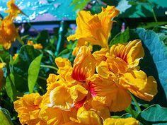 Calendula, Rose, Flowers, Plants, About Plants, Herbs, Succulents, Natural Antibiotics, Medicinal Plants