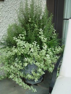 Rosemary and variegated licorice - via Dirt Simple