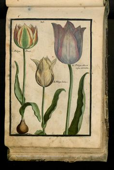 45 - XXIX. Tulipa. Latif. Ducalis Croceo Sanguineo Flore. Praecox Luteo Flore. Albo Flore Carnei Coloris Marginis. - Seite - Inhouse-Digitalisierung