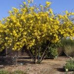 Blooming Plants, Backyard Plants, Plants, Garden, Botanical Gardens, Acacia, Acacia Tree, Shrubs, Flowering Trees