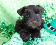 chocolate Miniature Schnauzer Puppies