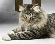 The Norwegian Forest Cat and the Maine Coon are strikingly similar, but they're very different cats and we help you learn how to tell them apart. Cat Breeds List, Rare Cat Breeds, Rare Cats, Cats And Kittens, Ragdoll Kittens, Funny Kittens, Bengal Cats, White Kittens, Adorable Kittens