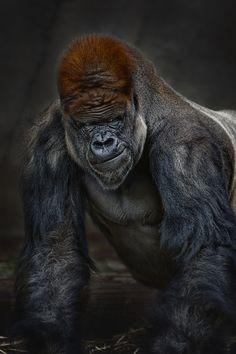 #Gorilla Silverback Animal