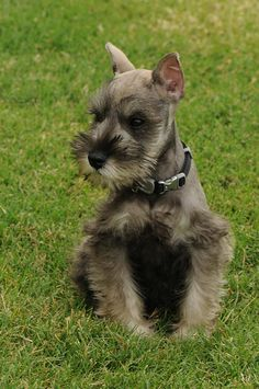 Schnauzers ~ ✞ ♥ I asked God for a Best Friend. He gave Me a Schnauzer. Schnauzers, Miniature Schnauzer Puppies, Schnauzer Puppy, Cute Puppies, Cute Dogs, Dogs And Puppies, Doggies, Most Popular Dog Breeds, Baby Dogs