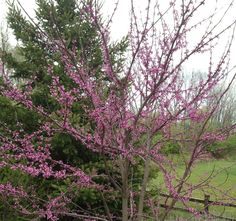 eastern red bud - new this year in front yard