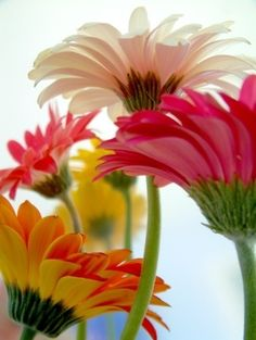 I love flowers :) Gerbera Daisies have such vibrancy though Daisy, Amazing Flowers, Beautiful Flowers, Happy Flowers, Purple Home, Gerber Daisies, Colorful Roses, Bright Flowers, Colorful Garden