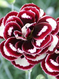 Dianthus Horatio has large white flowers with deep red flecks and splashes of color. Dianthus Horatio makes a charming addition tucked in the rock garden or front of Unusual Flowers, Amazing Flowers, White Flowers, Beautiful Flowers, Yellow Roses, Purple Flowers, Pink Roses, Carnations, Dahlias