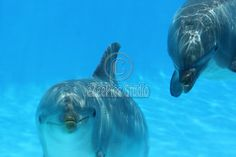 For stock photo buyers: Royalty Free stock photo: Ocean Life - Two dolphins playing in the blue water. Copyright:Corina Daniela ObertasSize:4272x2848 / 12.7MB