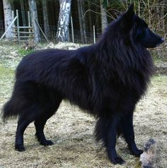 Groenendael with a PERFECT coat! I love his thick mane like fur, so gorgeous<<< Want pls Cute Puppies, Cute Dogs, Dogs And Puppies, Doggies, Belgian Shepherd, Shepherd Dog, Beautiful Dogs, Animals Beautiful, Berger Malinois