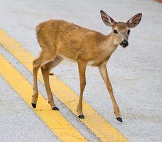 Key deer crossing a road in the Florida Keys.