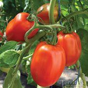 Ranger Tomato