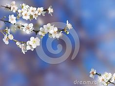 Plum blossom. Springtime tree branch with white flowers on the blurred background.