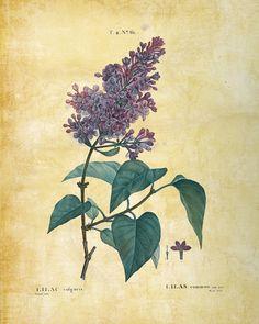 Lilac illustrations by Pierre Joseph Redouté My Flower, Flower Art, Edith Holden, Joseph, Language Of Flowers, Botanical Prints, Botanical Drawings, Botanical Flowers, Botanical Illustration
