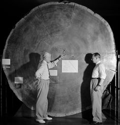 A.E. Douglass, the pioneer of tree-ring dating, points to rings formed early in the life of the tree, in the third century CE, in a large cross-section of a giant sequoia on display at the first location of the Arizona State Museum