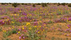 Sahara Mustards: Why I Weed The Desert, And Why You Should Help Me. – Jan Emming Desert Ecosystem, Desert Gardening, Mojave Desert, Primroses, Ecology, Wild Flowers, Weed, Mustard, Deserts