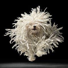 The Happy Mop (Komondor Hungarian Sheepdog ) [x-post /r/MostBeautiful] http://ift.tt/2kITD6C