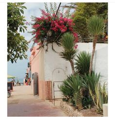 Bougainvillea and yucca trees perfect combo for white washed walls