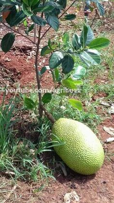 That is very interesting and quite a complex technique. First you need to cut a ring in the bark of scion bench that you what to graft on. Jackfruit Plant, Jackfruit Tree, Planting Fruit Trees, Fruit Plants, Exotic Fruit, Tropical Fruits, House Plants Decor, Beautiful Fruits, Forest Garden