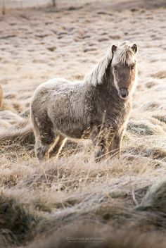 Icelandic horse...the frozen grasses & Horses hair are ice coated...surreal moment captured on film..